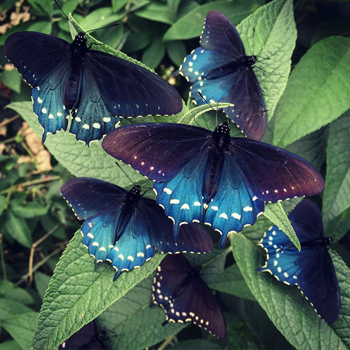 rare-california-blue-swallowtail-pipevine-butterfly-repopulate-in-biologist-garden (8)