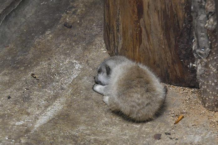 可爱又害羞的猫鼬宝宝插图(9)