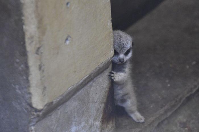 可爱又害羞的猫鼬宝宝插图(1)