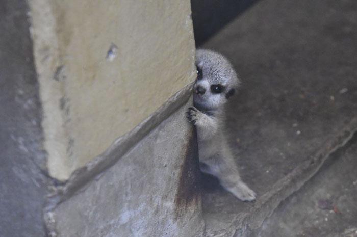 可爱又害羞的猫鼬宝宝插图