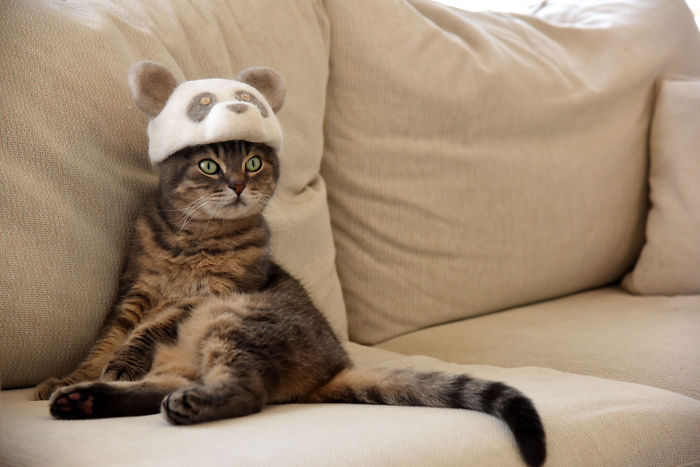 怎么让猫主子愿意戴帽子插图(6)